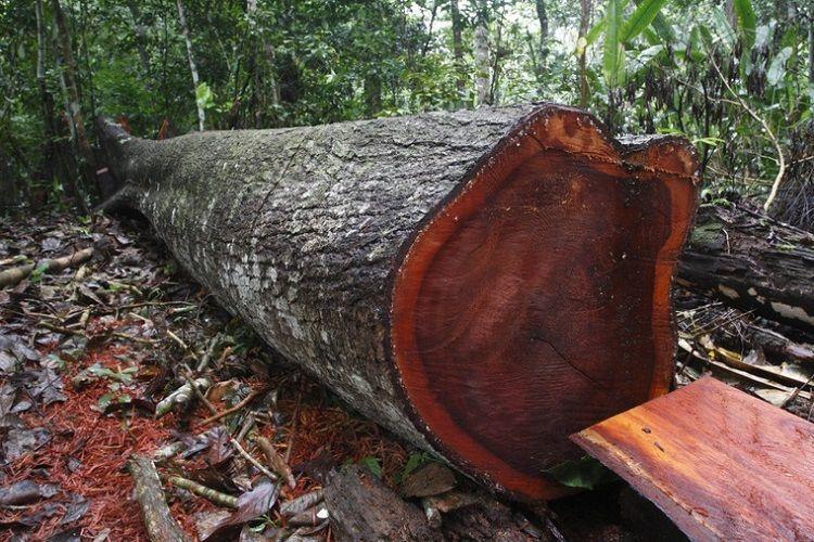 Ствол красного дерева